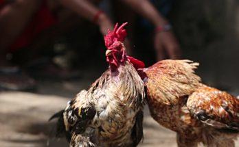 Aturan Bermain Judi Sabung Ayam S128