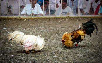 Asyiknya Main Sabung Ayam Di Internet
